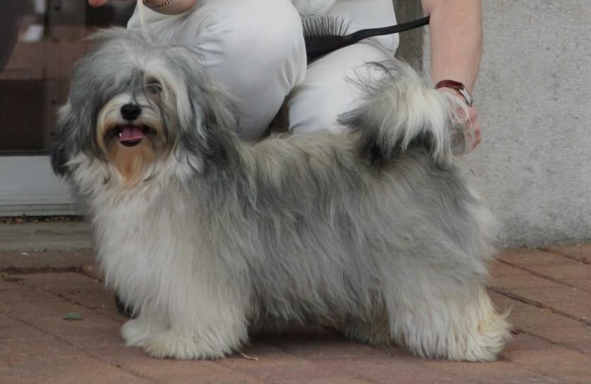 O'brisans Havanese Offspring