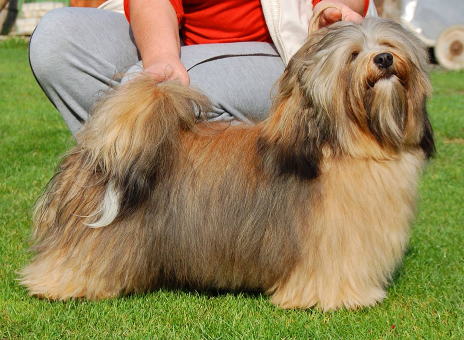 postoj-King of Man Pilosus havanese male
